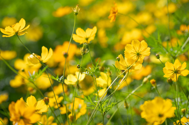 yellow-cosmos-flowers-background_51195-3245.jpg