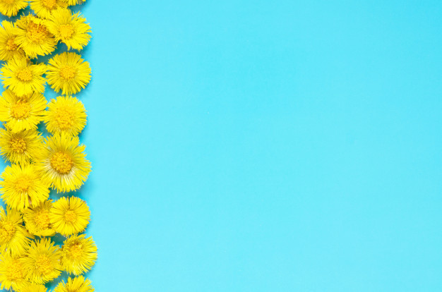 yellow-flowers-coltsfoot-blue-background-tussilago-farfara-medical-plant_102752-18.jpg