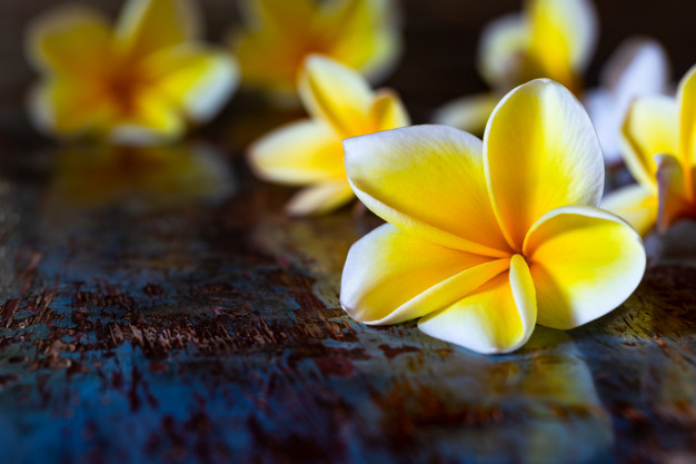 yellow-frangipani-plumeria-flowers-dark-blue-wooden-rustic-table_100801-118.jpg
