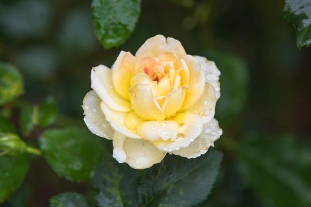 yellow-rose-with-drops-dew-garden_37885-177.jpg