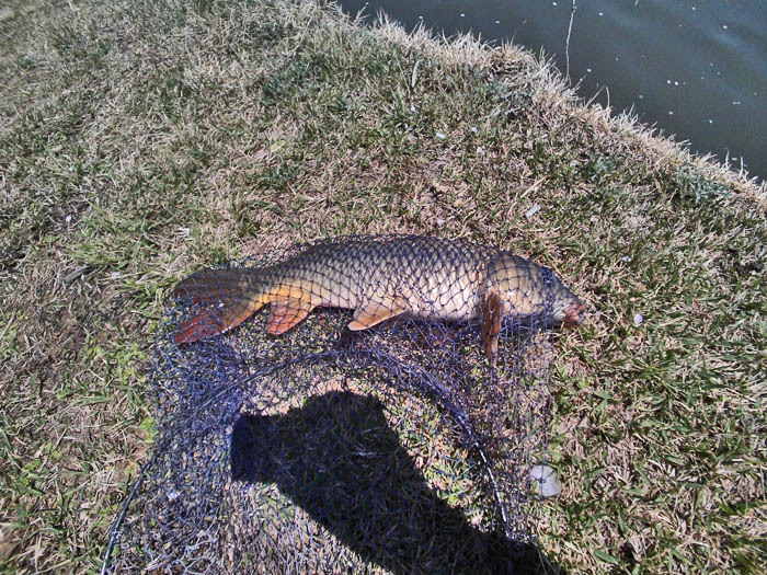 鯉 45cm