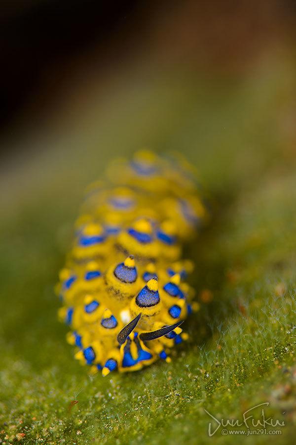 ミナミアオモウミウシ