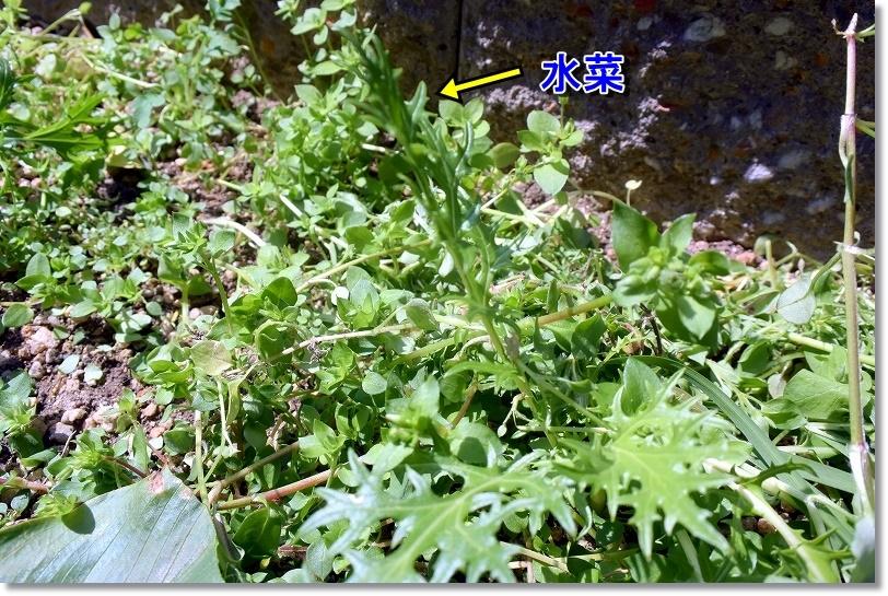 DSC_5413草の中から水菜だけ