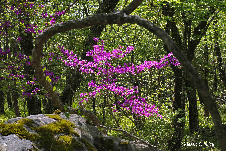 ツツジ訪れる富士の森