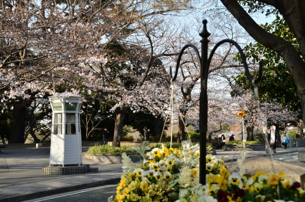 山手の桜13