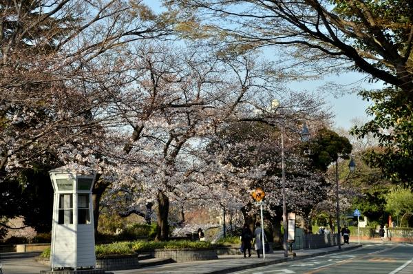 山手の桜12