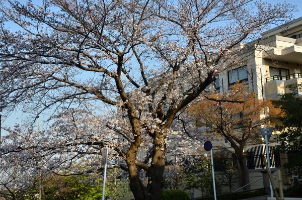 山手の桜11