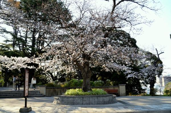 山手の桜16