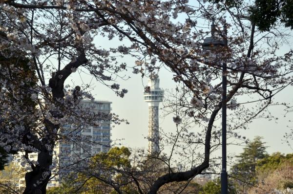 山手の桜15
