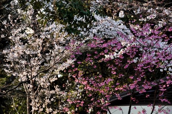 山手の桜14
