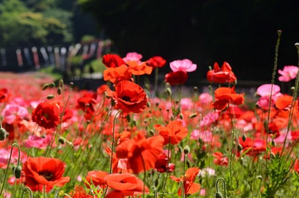 くりはま花の国4