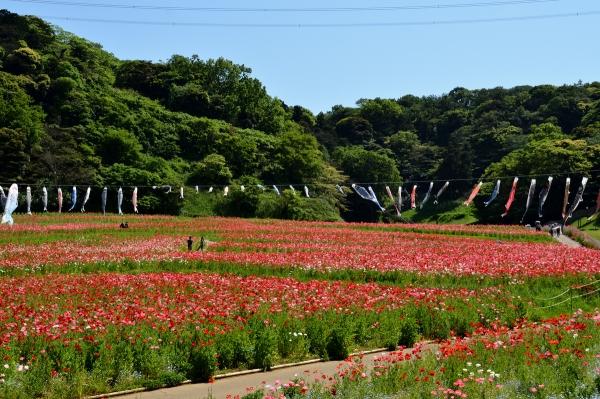 くりはま花の国13