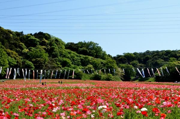 くりはま花の国12
