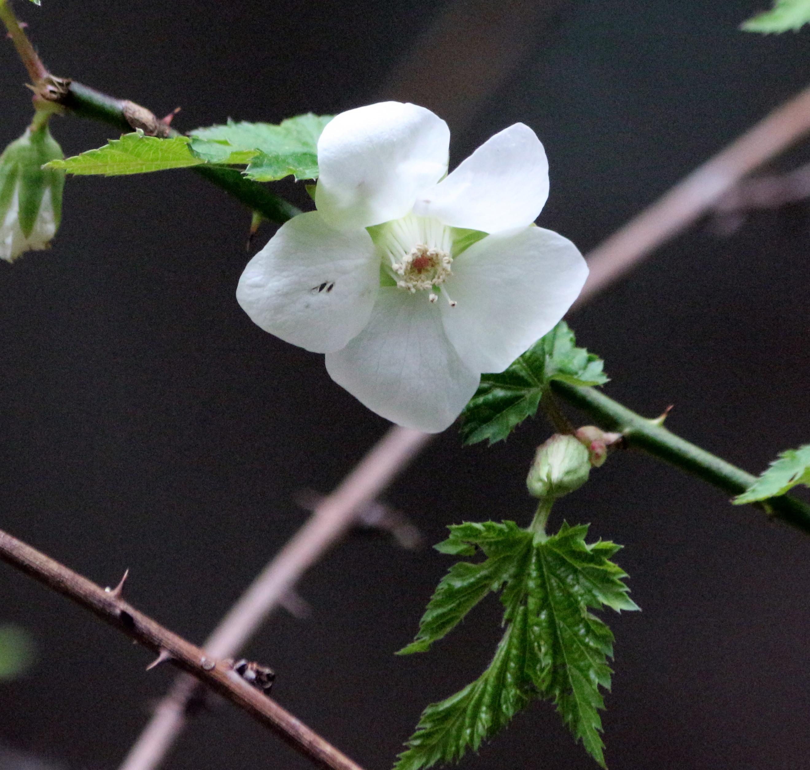 23-11ナガバモミジイチゴ