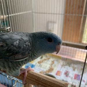 サザナミ1羽
