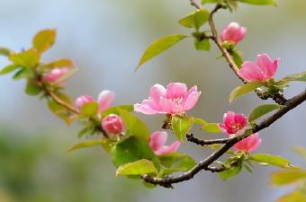 5191-340花梨の花