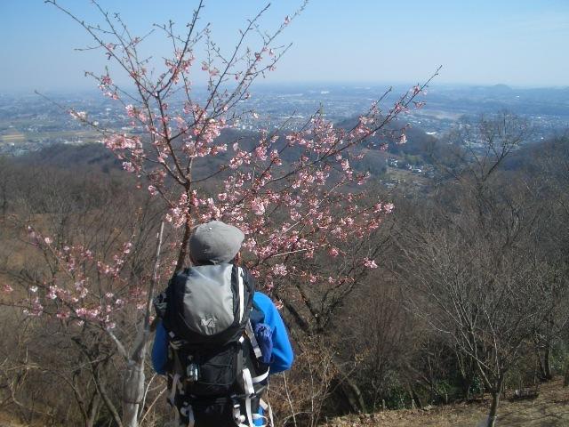 河津桜とオジサン