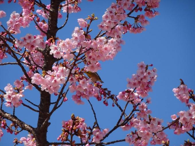 河津桜(市民の森公園)メジロが隠れてる