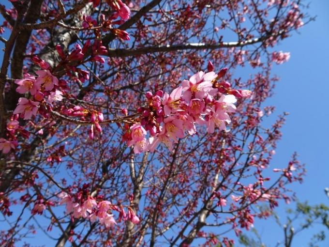 おかめ桜(西部公園)