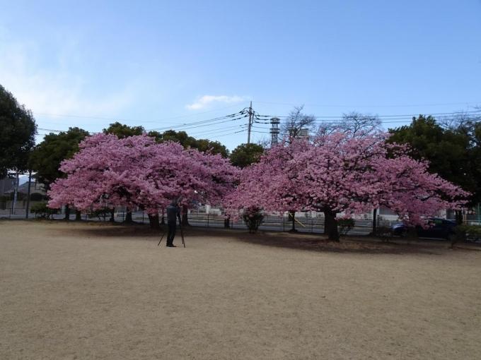 河津桜(市之坪公園)
