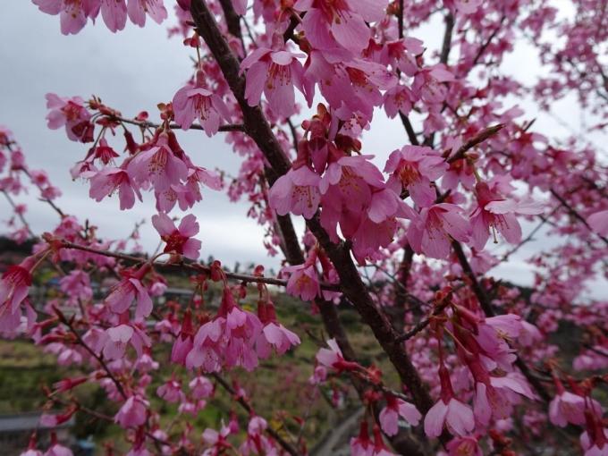 おかめ桜かな
