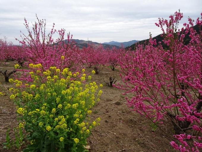 菜の花と花桃