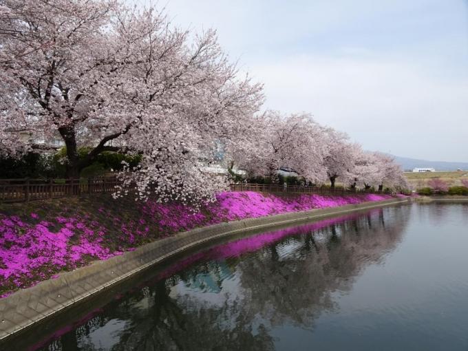 芝桜も彩を添えてる