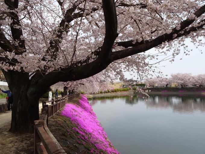 桜の木は大きい