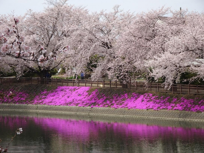 芝桜が池に映る