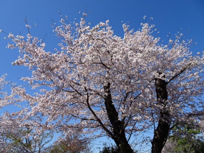 青空!!桜満開