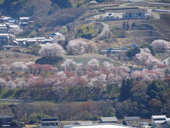下仁田IC付近の桜