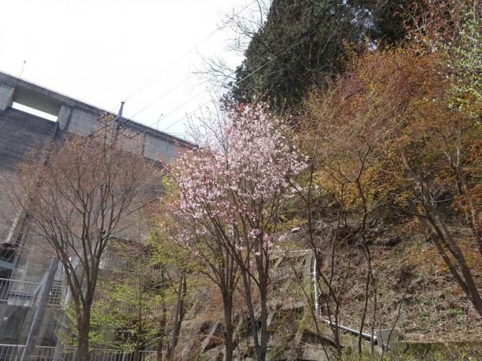 大仁田ダム下のオオヤマザクラ