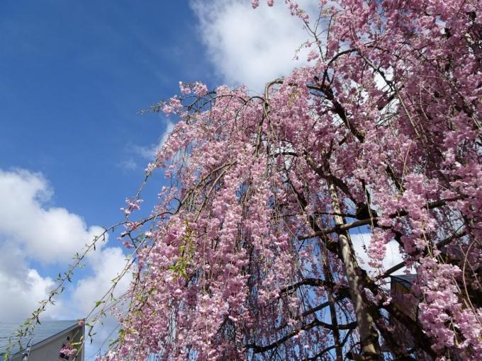 民家のしだれ桜