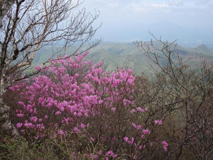 荒山山頂部のアカヤシオ2