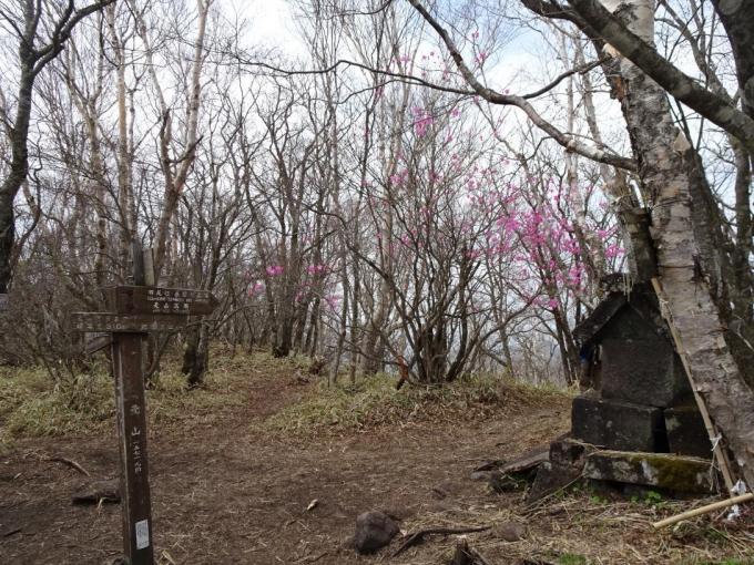 荒山山頂のアカヤシオ
