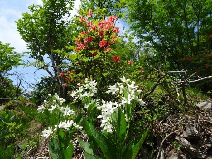 山頂手前に咲くクサタチバナ