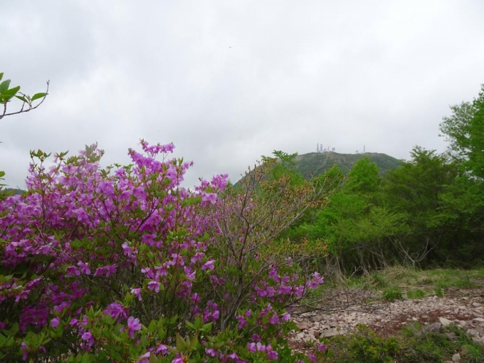 ミツバツツジと地蔵岳