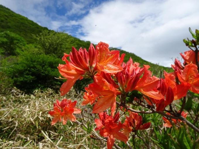 咲きたてのレンゲツツジ