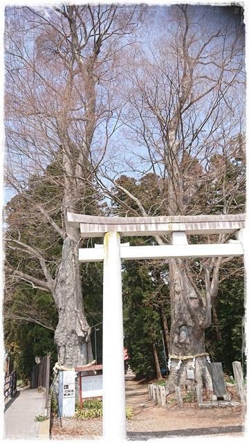 智賀都神社・欅