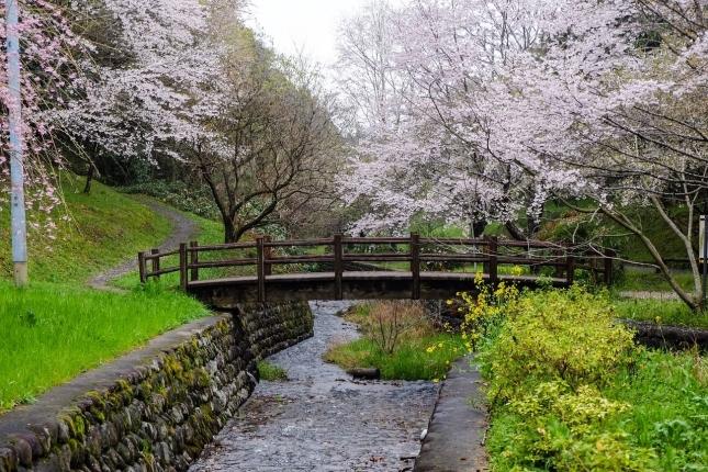 cherry-blossoms-2217347_1280.jpg