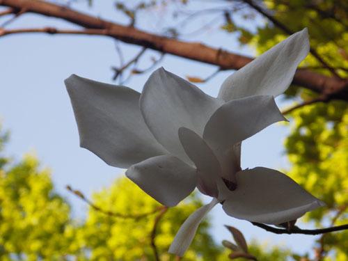190508 タムシバ花