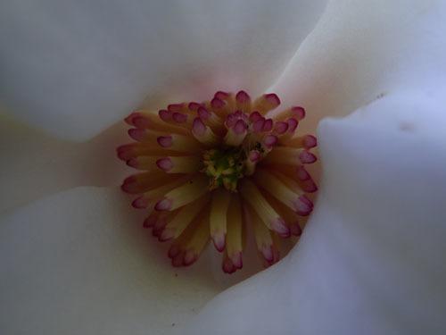 190508 タムシバ花接写