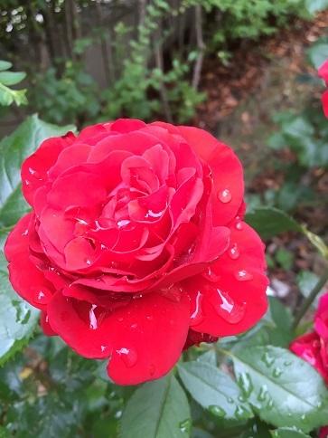 雨上がりの薔薇