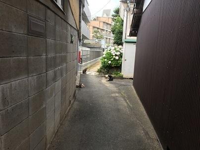 路地の紫陽花と猫