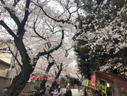 雑司が谷の桜