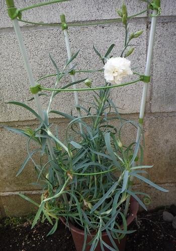 Carnation-waisei-siro2-2018.jpg