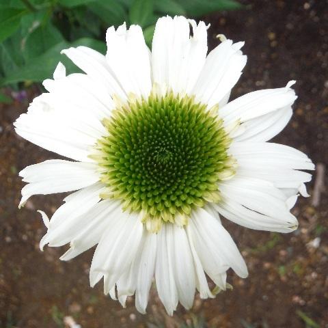 Echinacea-Vanilla_Cupcake2-2019.jpg