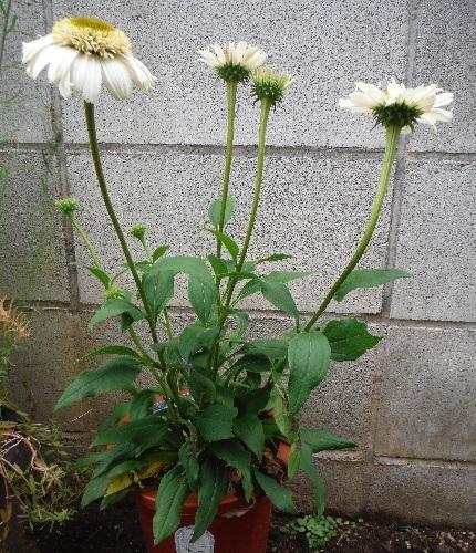 Echinacea-Vanilla_Cupcake4-2019.jpg