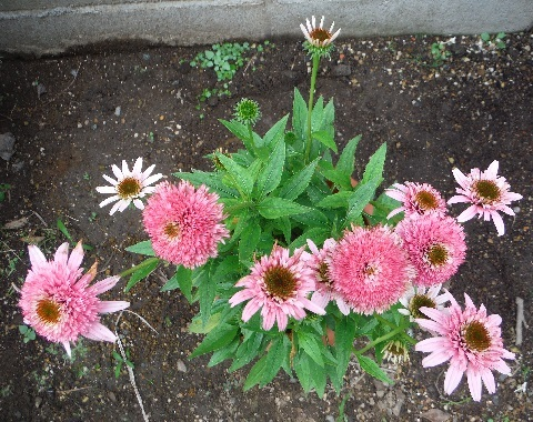 Echinacea_Pink_Double_Delight2-2019.jpg