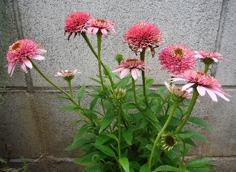 Echinacea_Pink_Double_Delight3-2019.jpg